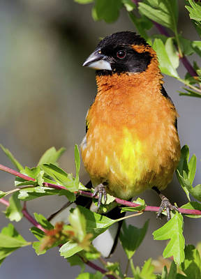 Photograph - Handsome Grosbeak by Craig Strand