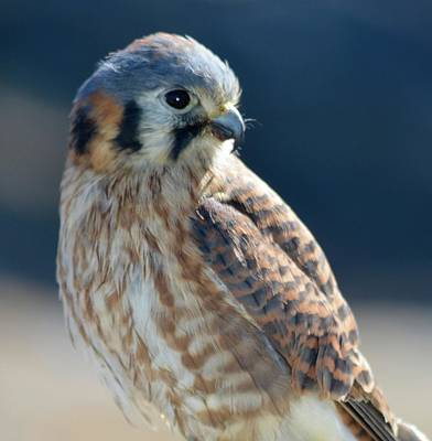 Photograph - Handsome Kestrel In Profile by Richard Bryce and Family