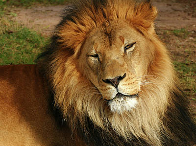 Photograph - Handsome King by Laurel Powell