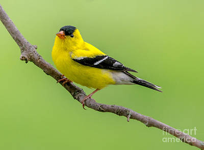 Photograph - Handsome Male Goldfinch by Cheryl Baxter