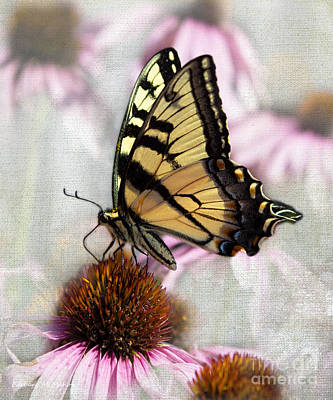 Photograph - Handsome Male Yellow Swallowtail Butterfly by Barbara McMahon