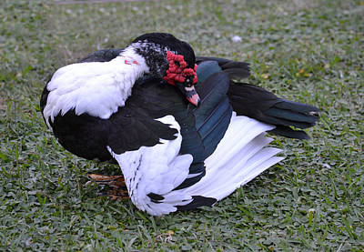 Photograph - Handsome Muscovy Duck Drake by rd Erickson