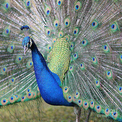 Photograph - Handsome Peacock by Carol Groenen