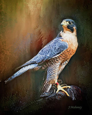 Photograph - Handsome  Peregrine Falcon  by Jeanette Mahoney