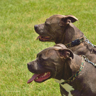 Brindle Photograph - Handsome Pit Bulls by Kae Cheatham
