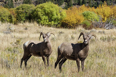 Photograph - Handsome Rams by Kathleen Bishop