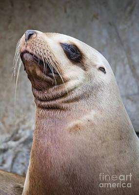 Photograph - Handsome Sea Lion by Chris Dutton