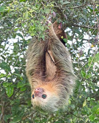 Sloth Photograph - Hangin In Costa Rica by Betsy Knapp
