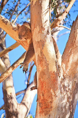Hanging Around, Yanchep National Park Art Print