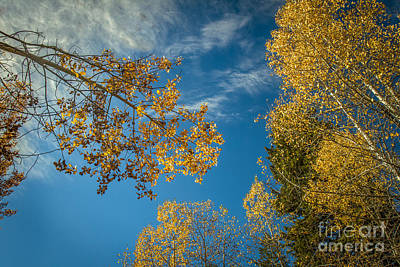 Photograph - Hanging Aspen by Robert Bales