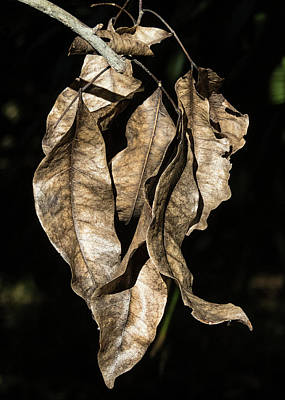 Photograph - Hanging Dead Leaves by Bob Slitzan