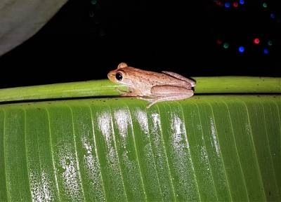 Photograph - Hanging Frog by Ric Schafer