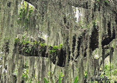 Photograph - Hanging Moss by Lydia Holly