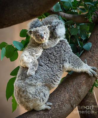Koala Photograph - Hanging On by Jamie Pham