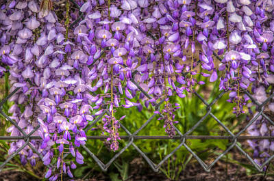 Photograph - Hanging On The Fence, Wisteria by Connie Cooper-Edwards