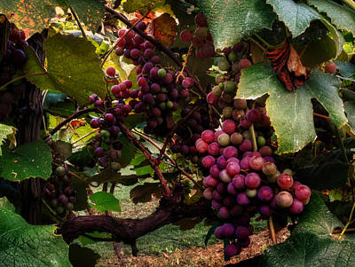 Grape Leaves Photograph - Hanging Out In The Vineyard by Greg Mimbs