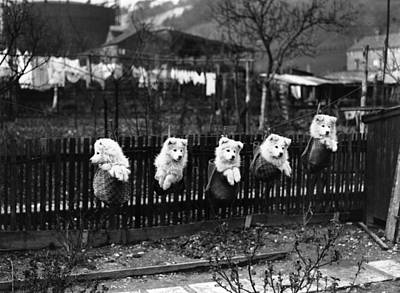 Samoyed Photograph - Hanging Out To Dry by Fox Photos