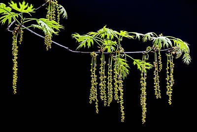 Photograph - Hanging Pin Oak Tree Seeds by Patti Deters