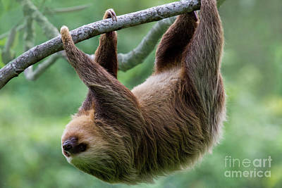 Photograph - Hanging Three-toed Sloth by Heiko Koehrer-Wagner