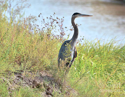 Photograph - Hank The Blue Heron by Debby Pueschel