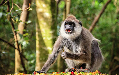 Photograph - Hanuman Langur by Alexey Stiop