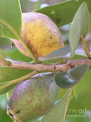 Guava Tree Photograph - Haole Guava by Mary Deal