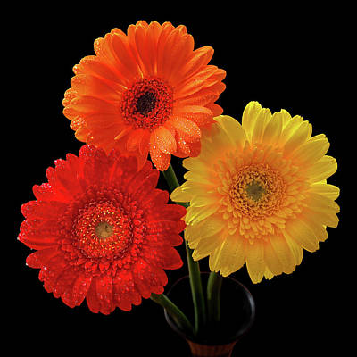 Photograph - Happiness - Orange Red And Yellow Gerbera On Black by Gill Billington