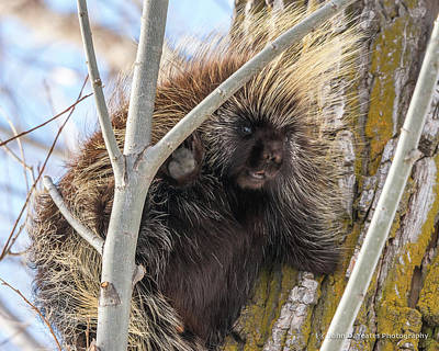 Photograph - Happy And Hairy Porcupine by Yeates Photography