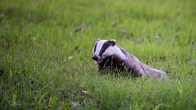 Photograph - Happy Badger In The Green Grass by Torbjorn Swenelius