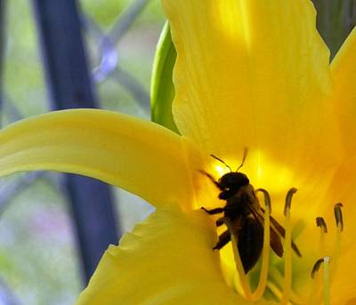 Photograph - Happy Bee In The Daylily by Belinda Lee