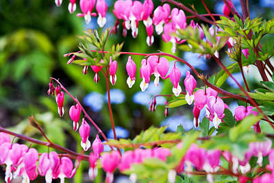Photograph - Happy Bleeding Hearts by Tatiana Travelways
