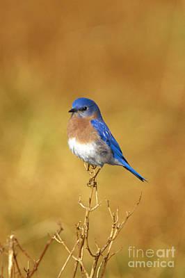 Berea Wall Art - Photograph - Happy Blue Bird by John Harmon