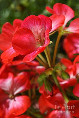 Photograph - Happy Bright Spring Geranium by Joy Watson