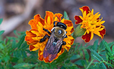 Photograph - Happy Bumblebee by Kenneth Albin