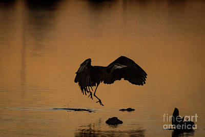 Classic Golf - Happy Dance of the Great Blue Heron by Dwain Patton