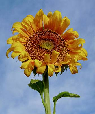 Photograph - Happy Desert Garden Sunflower by Judy Kennedy