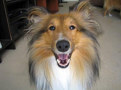 Miniature Collie Photograph - Happy Dog by Sheltie Planet