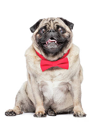 Photograph - Happy Fawn Pug Dog In Red Bowtie. by Michal Bednarek
