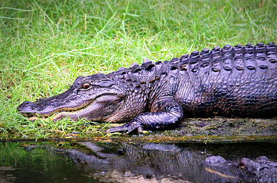 Photograph - Happy Gator by Faith Williams