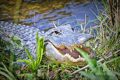 Photograph - Happy Gator by Judy Kay