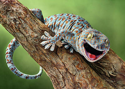 Photograph - Happy Gecko by Nikolyn McDonald
