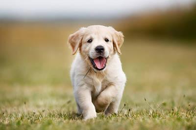 Happy Golden Retriever Puppy Art Print