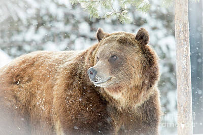 Photograph - Happy Griz by Sonya Lang