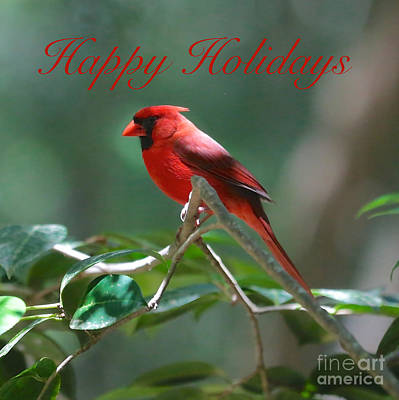 Photograph - Happy Holidays Cardinal Square by Carol Groenen