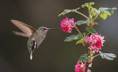 Photograph - Happy Hummer by Angie Vogel