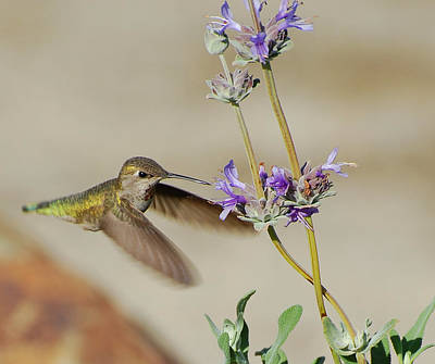 Happy Hummer Art Print by Jean Booth