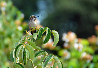 Photograph - Happy Hummer by Lynn Bauer