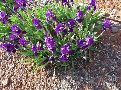 Photograph - Happy Iris Blooming In Sedona by Marlene Rose Besso