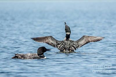 Photograph - Happy Loon by Cheryl Baxter