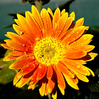Gerber Daisy Photograph - Happy  by Melissa  Riggs